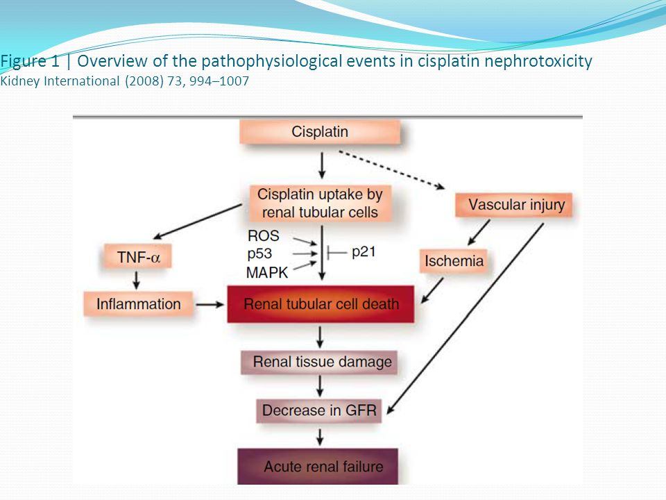 Figure 1 | Overview of the pathophysiological events in cisplatin nephrotoxicity Kidney International (2008) 73, 994–1007
