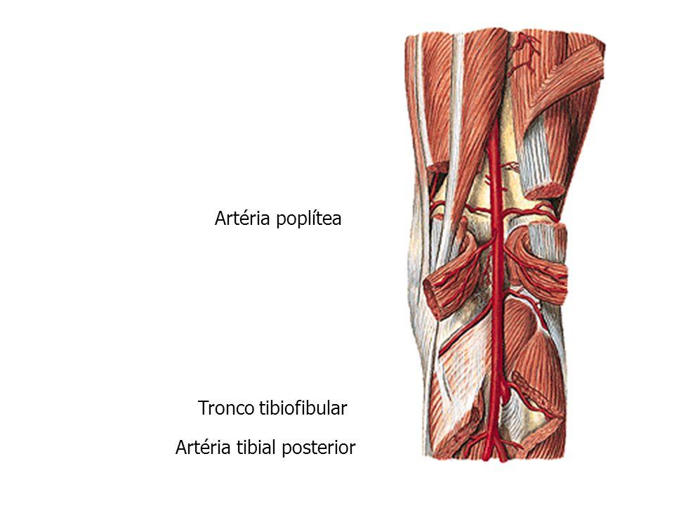 Lujo Anatomía De La Arteria Tibial Composición - Anatomía y ...