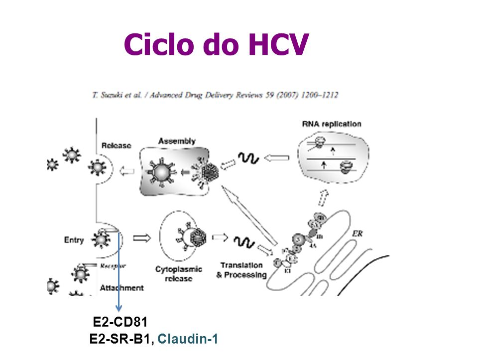 Ciclo do HCV E2-CD81 E2-SR-B1, Claudin-1