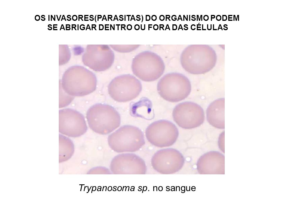 Trypanosoma sp. no sangue