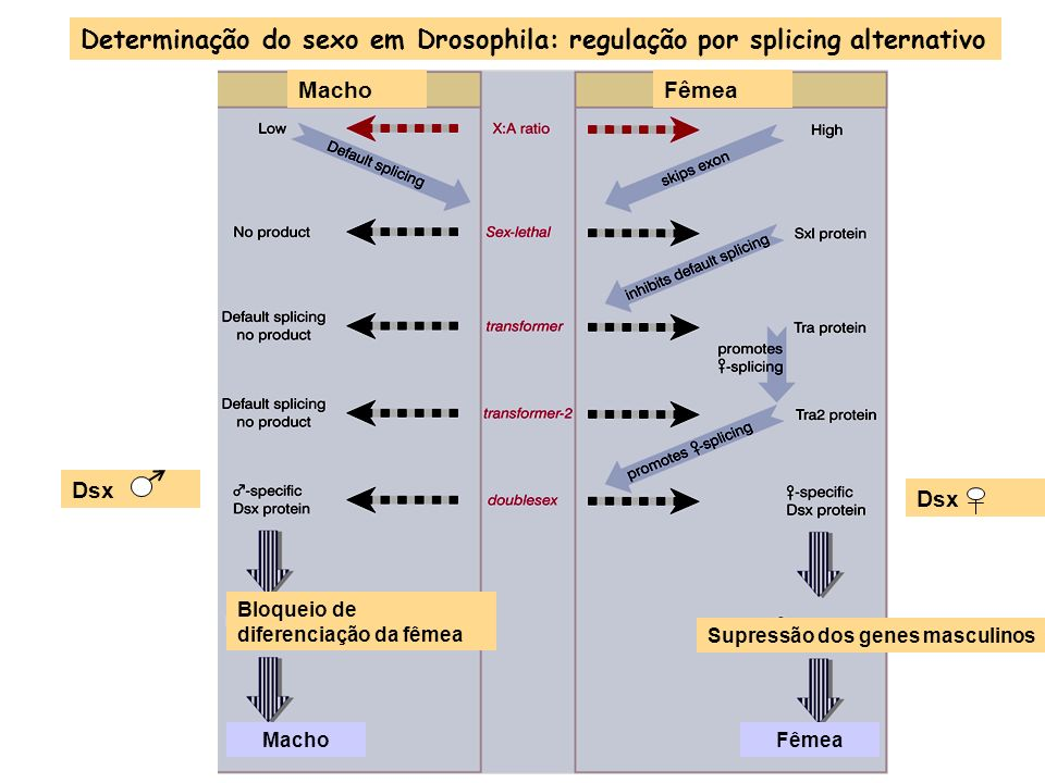 Determinação do sexo em Drosophila: regulação por splicing alternativo