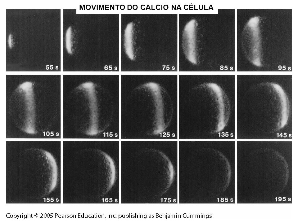 MOVIMENTO DO CALCIO NA CÉLULA