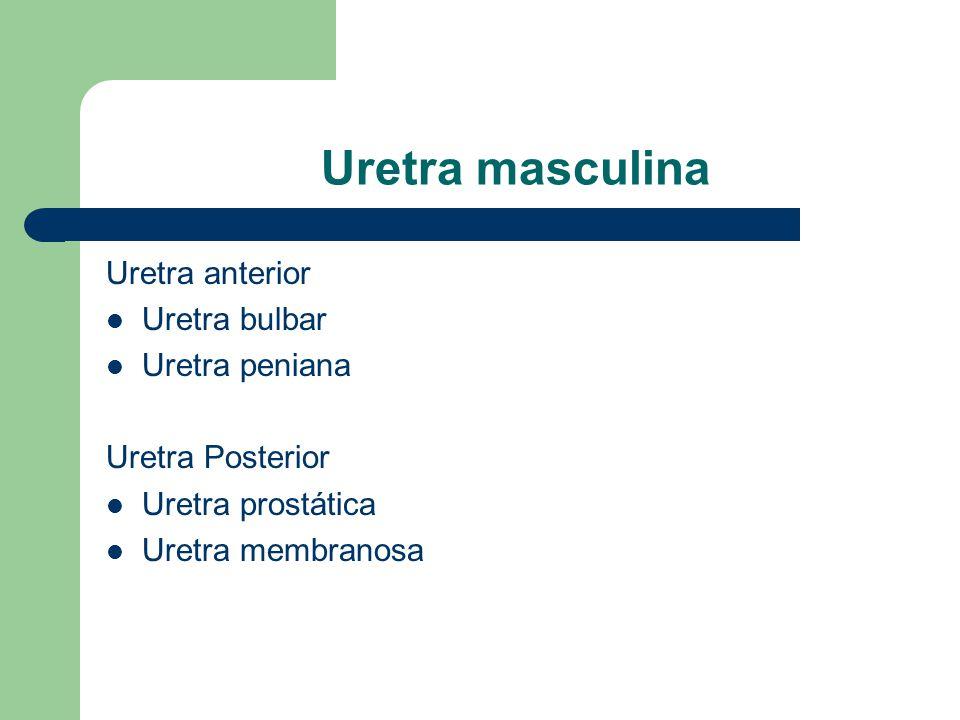 Anatomia da Uretra. - ppt video online carregar