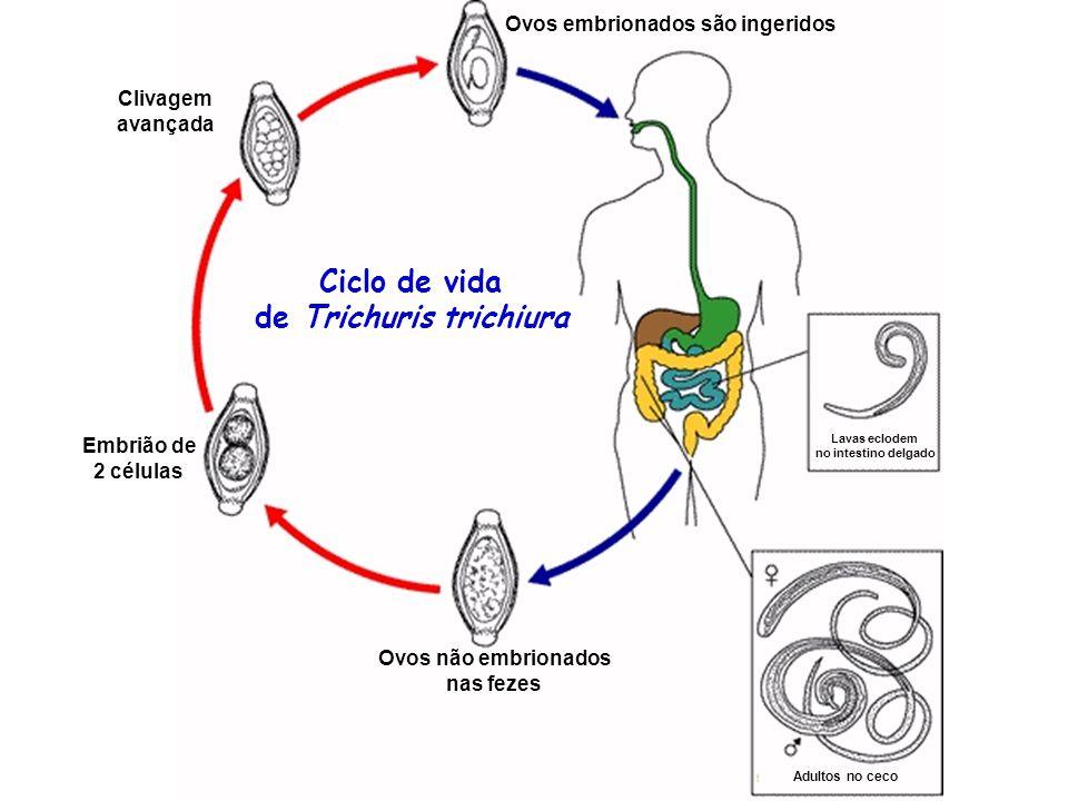 enterobius vermicularis ciclo biologico