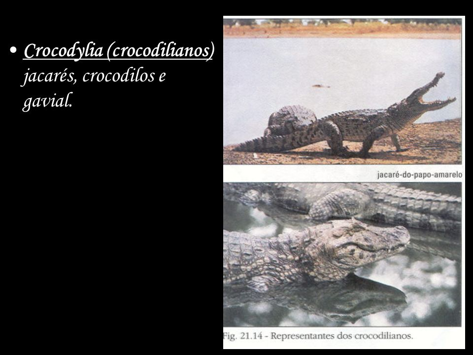 Crocodylia (crocodilianos) jacarés, crocodilos e gavial.