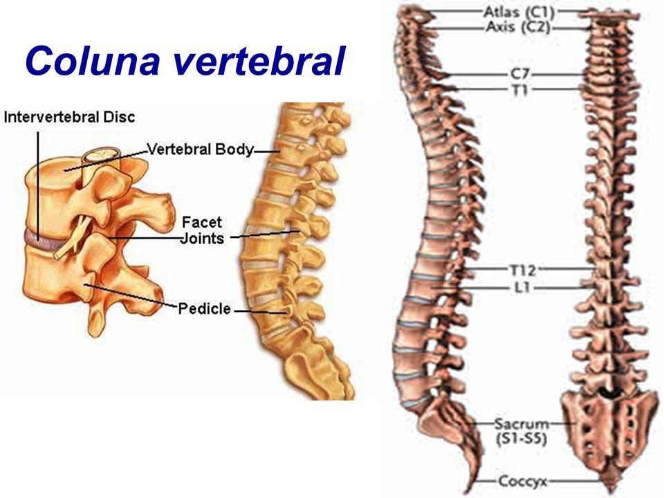 Único Anatomía Vértebra Torácica Viñeta - Imágenes de Anatomía ...
