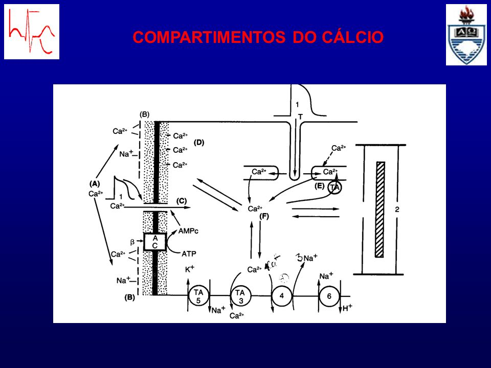 COMPARTIMENTOS DO CÁLCIO