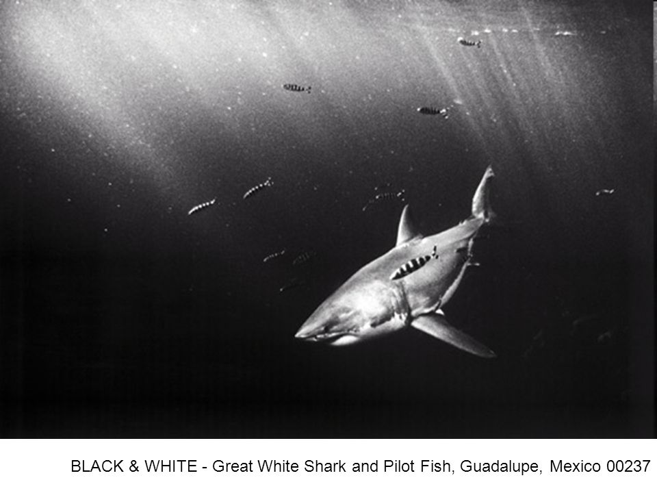 BLACK & WHITE - Great White Shark and Pilot Fish, Guadalupe, Mexico 00237