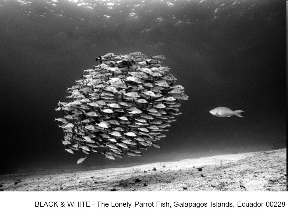 BLACK & WHITE - The Lonely Parrot Fish, Galapagos Islands, Ecuador 00228