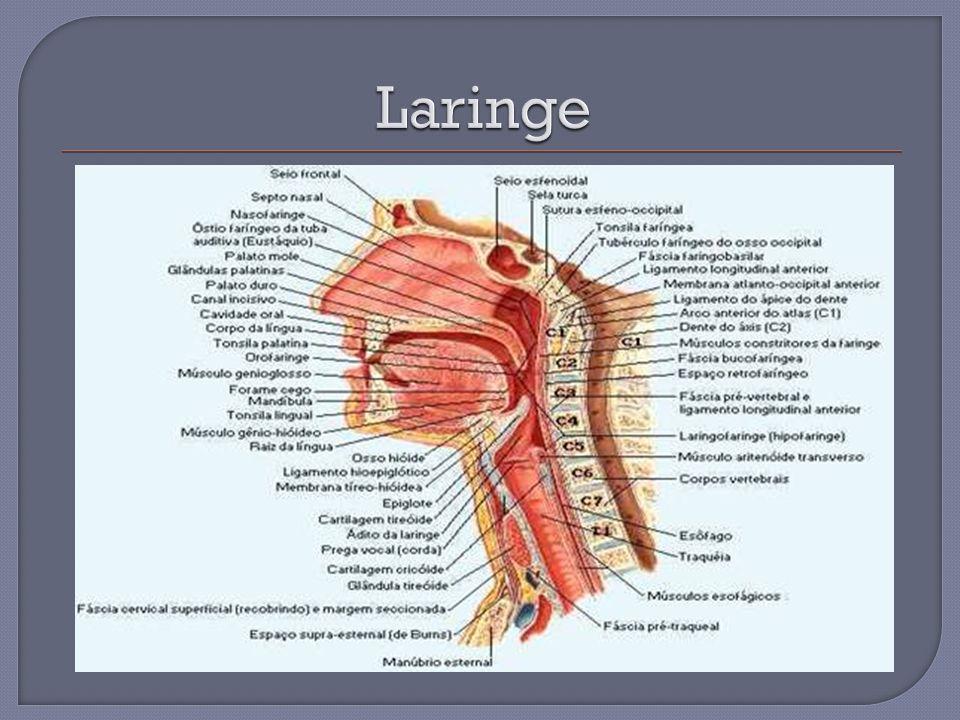 Anatomia do pescoço boca, nariz laringe, faringe, orelha - ppt carregar